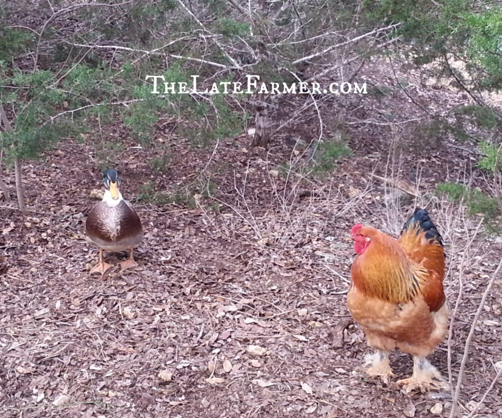 Day 3 - Duck and Rooster - 2014 - TheLateFarmer.com